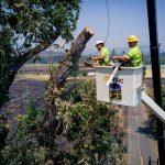 IBEW 1245 Members Clear Damaged Trees in Mendocino Fire Zone/ Miembros del IBEW 1245 despejan árboles dañados en la zona de fuego de Mendocino