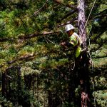 In The Clear — IBEW 1245 tree trimmers work to reduce the risk of wildfires